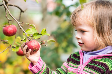 Portrait of little girl picking an apple from the tree photo