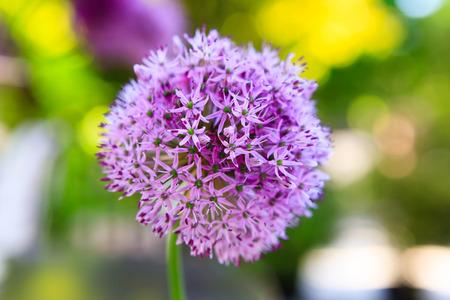 allium flower: Close up of Purple Allium flower