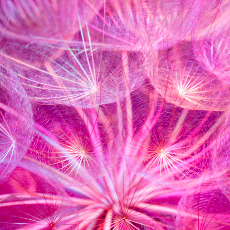 Colorful Pink pastel background - Vivid color abstract dandelion flower - extreme closeup with soft focus, beautiful nature details 写真素材