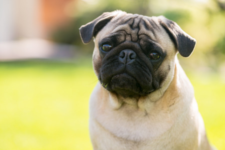 pug puppy: Cute Sad Pug on the summer park - waiting for master