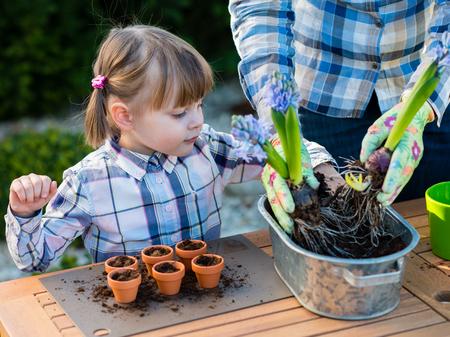 planta con raiz: Chica ni�o plantando bulbos de flores con la madre. Tulip�n y jacinto bulbos madre y plantaci�n hija en peque�os potes - jardiner�a, concepto de plantaci�n