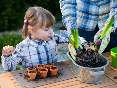 to plant: child girl planting flower bulbs with mother. Gardening, planting concept - mother and daughter planting tulip and hyacinth  bulbs into small pots Stock Photo