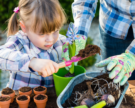 child girl planting flower bulbs with mother. Gardening, planting concept - mother and daughter planting tulip and hyacinth  bulbs into small pots Stok Fotoğraf