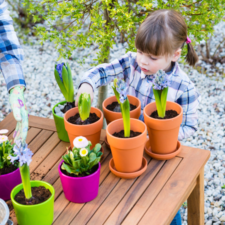 bulbous: child girl planting flower bulbs. Gardening, planting concept - mother and daughter planting tulip and hyacinth  bulbs into small pots