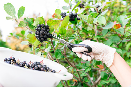 woman picking chokeberry  aronia fruits with scissors