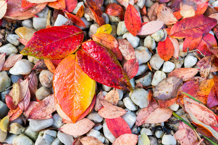 Red, Orange and Yellow Autumn Leaves Background - wet blueberry leaves on gray pebbles Stock Photo
