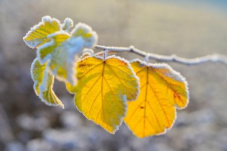 arbol de pascua: Frozen autumn leaves - close up - shallow depth of field Foto de archivo