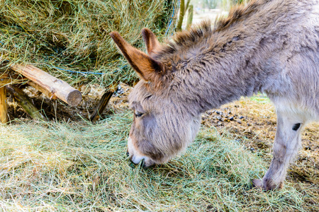 Wild donkey at the pasture - bale of hay - early spring