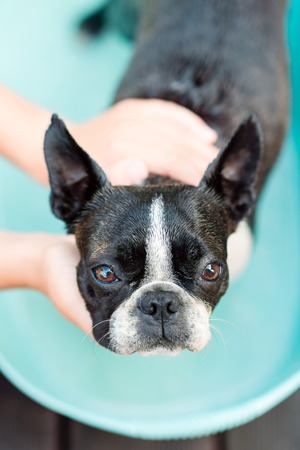 The boston terrier dog takes a bath on a hot summer day