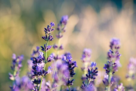 lavender flowers on a background of golden grasses