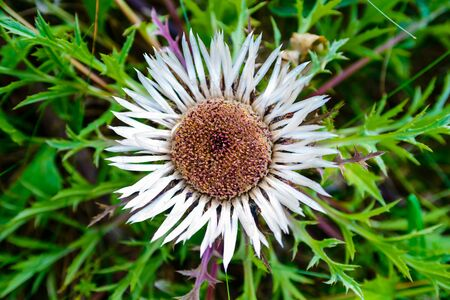 Image of Carline thistle - Carlina acaulis - with open blossom Imagens