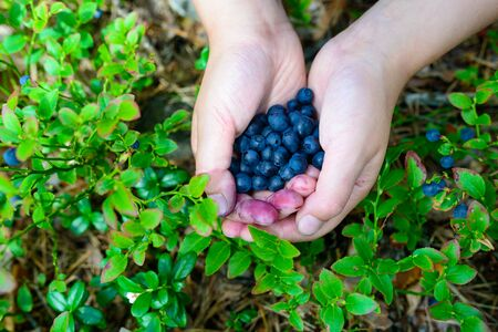 forest berries on the hands of a young girl against the background of blueberry bushes - freshly harvested fruits colored the child's fingers. Nutrition and healthy foods. Close-up shot