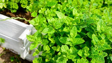 fresh peppermint seedlings in the herb garden