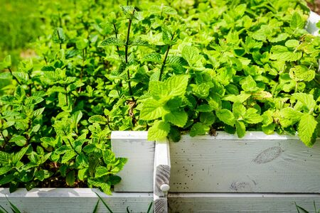 Fresh peppermint seedlings in white wooden pots in the herb garden