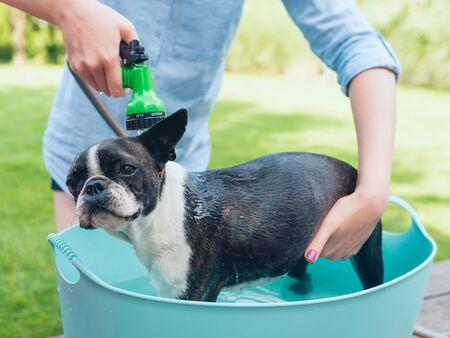 kids wash boston terrier puppy in blue basin  in summer garden on a wooden terrace Imagens
