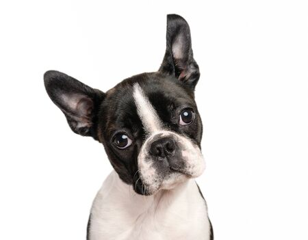 Boston terrier puppy isolated on white for copy space use - studio shot Фото со стока