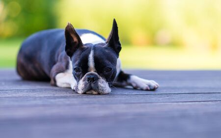 Boston terrier dog lying on brown terrace looking at camera