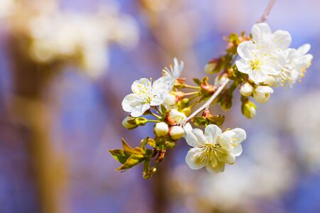 blossoming of cherry flowers in spring time with green leaves, natural floral seasonal creamy background - very shallow depth of field