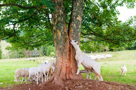 Sheep licking tree trunk juice to supplement sodium deficiency in the mountain pasture in Pieniny Mountains