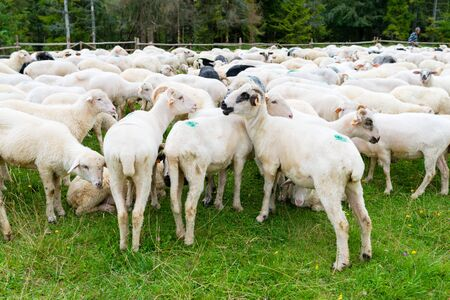flock of sheep in the pasture in the mountains - Pieniny Poland