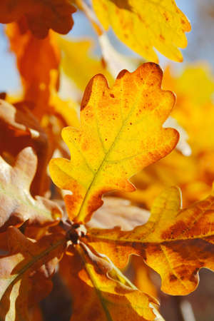 quercus: autumn: oak (Quercus sp.) leaves