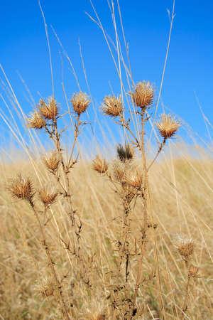 vulgare: thistle (Cirsium vulgare = Cirsium lanceolatum) Stock Photo