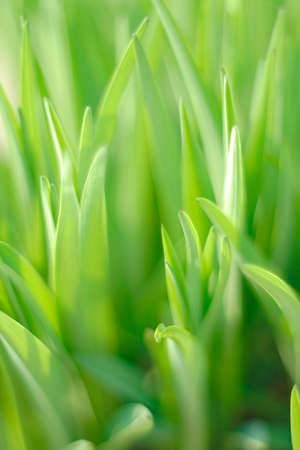 Daylily (Hemerocallis sp.) - leaves with limited depth of field Stock Photo