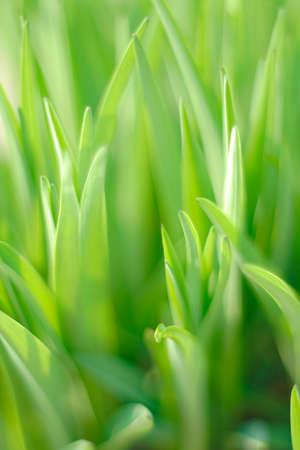 Daylily (Hemerocallis sp.) - leaves with limited depth of field Zdjęcie Seryjne