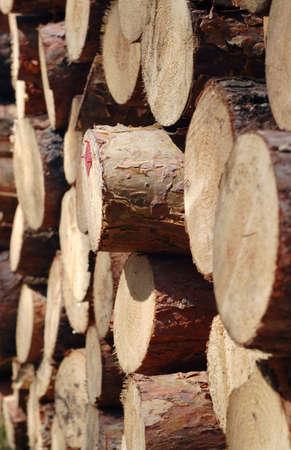 pinus sylvestris: a pile of fresh-sawn logs of Scotch Pine (Pinus sylvestris)