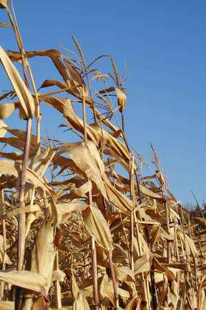 zea: row of dry the maizes (Zea mays ssp. mays) plants on background of blue sky