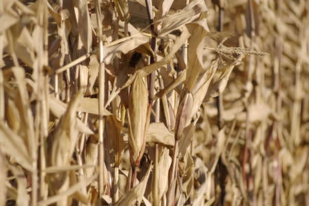zea: row of dry the maizes (Zea mays ssp. mays) plants Stock Photo
