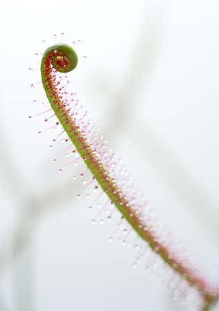insectivorous plants: close-up carnivorous plant: forked sundew leaf (Drosera binata)