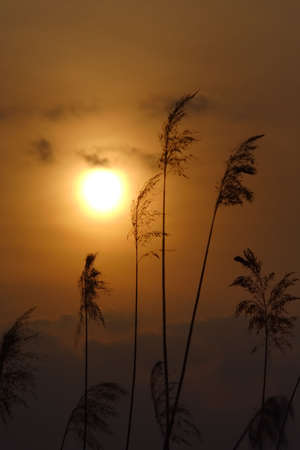 yellowish: Silhouette of reeds stalks at sunset. Focus on reeds.