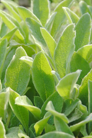 Close up photo of hairy medical sages leaves photo