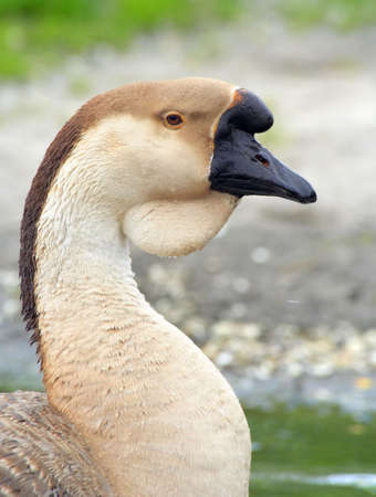Portrait of a domestic Swan Goose (Anser cygnoides) on a blurred background photo