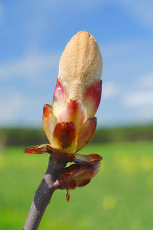 nascent: Cracking horse-chestnuts spring leaf bud (Aesculus hippocastanum) on unfocused background Stock Photo