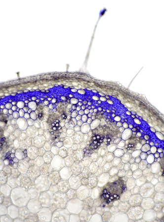 Sundew (Drosera capensis) flower stem cross section. Bright field illumination. Gentian violet stain. Stock Photo - 7369518