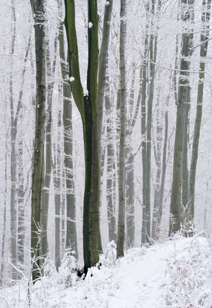 Frosted and foggy forest at the winter Stock Photo