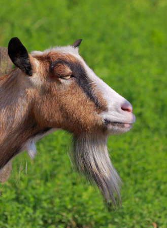 Billy goat portrait with unfocused green background