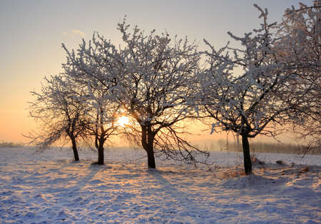 Warm winter sunrise with trees covered by frost