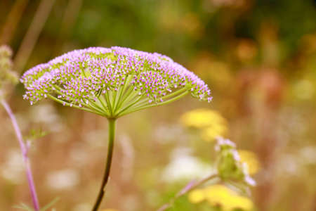 yellowish green: Close-up of inflorescence (umbel) of plant from family Umbelliferae