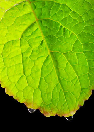leaf close up: Leaf close up with water drops over black background