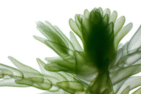 turf: Microscopische mening van veenmos (Sphagnum). Helderveld verlichting.