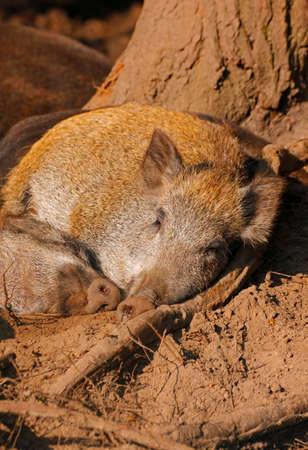 scrofa: Sleeping wild boars (Sus scrofa). Europe, Poland, Holy Cross Mountains. Stock Photo