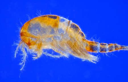 freshwater: Microscopic view of freshwater copepod (Cyclops). Side view. Rheinberg illumination.