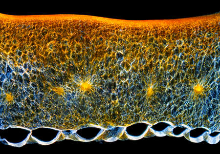 Microscopic view of a Chili pepper (Capsicum annuum) fruit pericarp cross-section. Polarized light, crossed polarizers.