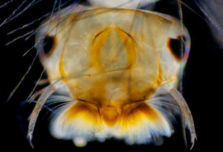 aedes: Microscopic view of Mosquito (Aedes) larva head. Darkfield illumination.