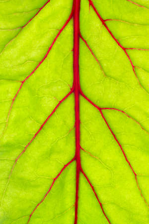 Beetroot leaf pattern. Backlight, close up view. Reklamní fotografie