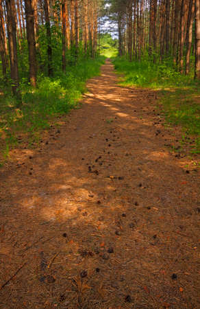shady: Straight shady track across young pine forest. Poland, Holy Cross Mountains.