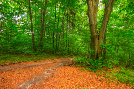 on forked: Forked footpath inside forest. Poland, Holy Cross Mountains. Stock Photo